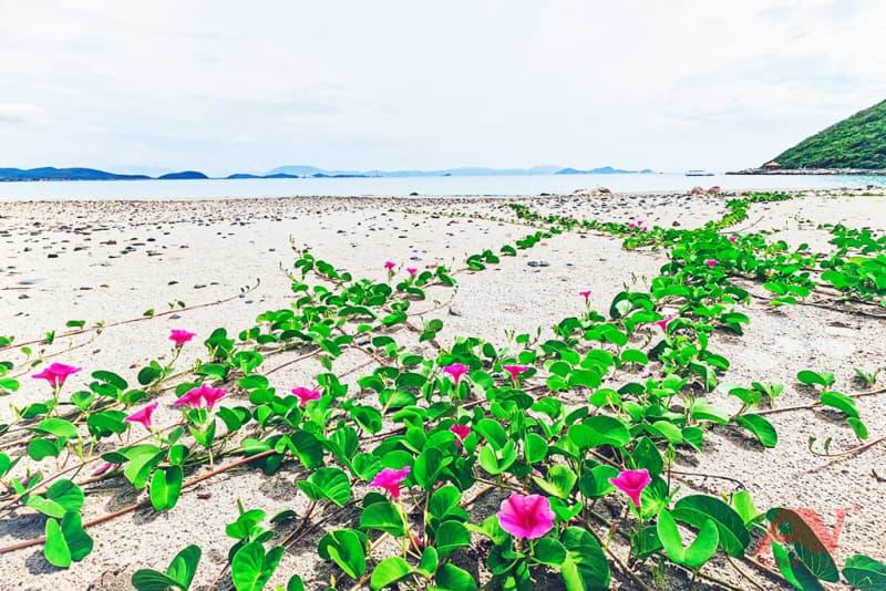 Dàn hoa leo trên bờ biển Gành Nhảy